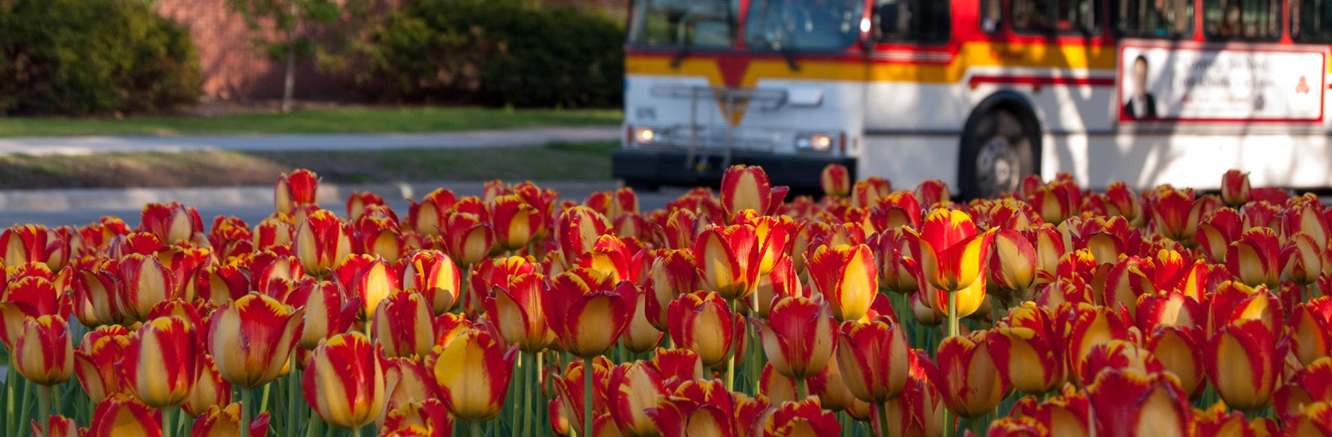 Bus-on-Osborn-Road-Cyclone-Tulips