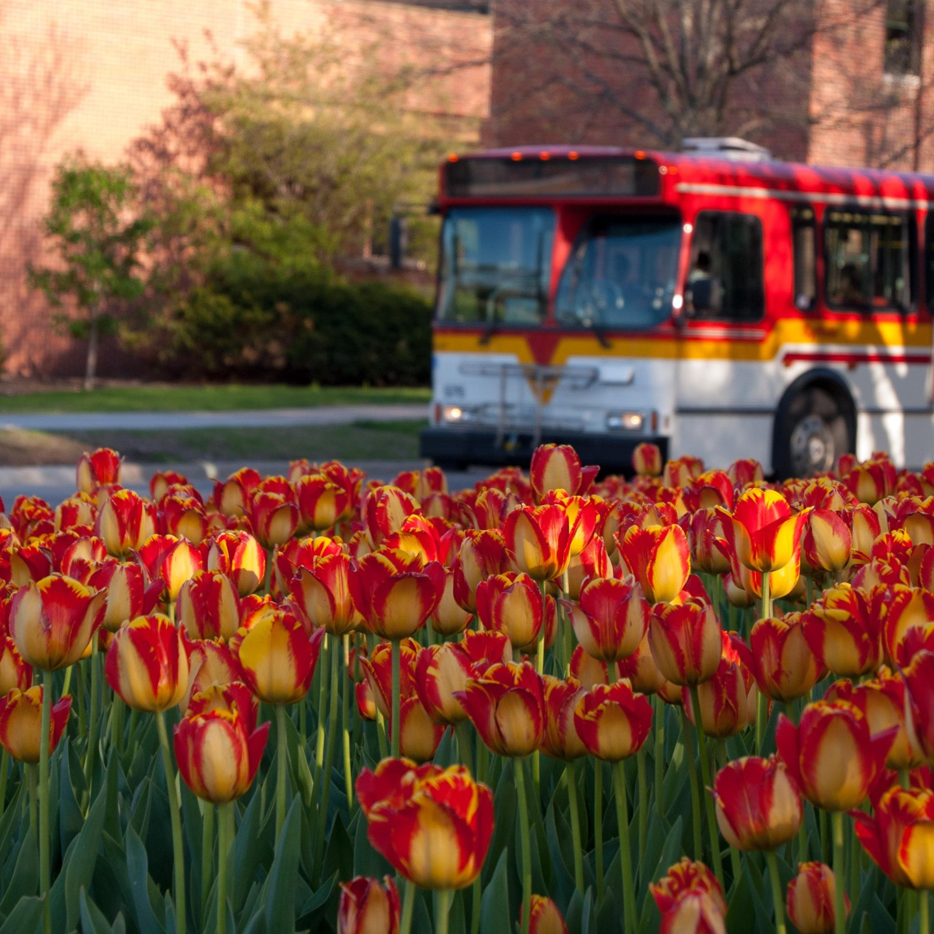Spring tulips and CyRide bus